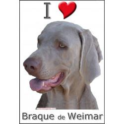 Sticker, Braque de Weimar Tête, 4 tailles, 4 possibilités !