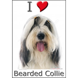 """I love Bearded Collie"" Sticker photo 4 tailles, 4 possibilités !"