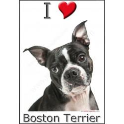 Sticker autocollant, photo Boston Terrier tête, 4 tailles, 4 possibilités !