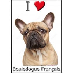 Sticker autocollant, Bouledogue Français Fauve tête, 4 tailles, 4 possibilités !