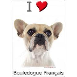 Sticker autocollant, Bouledogue Français Blanc et Fauve tête, 4 tailles, 4 possibilités !