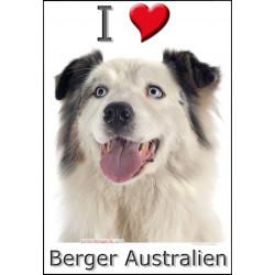 Sticker autocollant, Berger Australien Blanc et Bleu Merle Tête, 4 tailles, 4 possibilités !