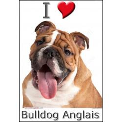 Sticker autocollant, Bulldog Anglais Fauve Tête, 4 tailles, 4 possibilités !