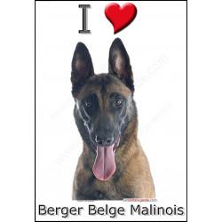 Sticker autocollant, Berger Belge Malinois Tête, 4 tailles, 4 possibilités !