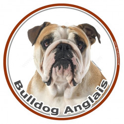 Sticker autocollant ronds 15 cm, Bulldog Anglais Fauve Tête, adhésif rond photo