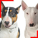 Bull Terrier (4 couleurs)