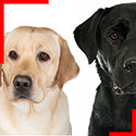 Labrador (3 couleurs)