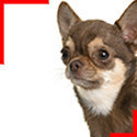 Chihuahua poils courts