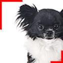 Chihuahua poils longs