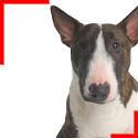 Bull Terrier Bringé