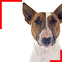 Bull Terrier Fauve et Blanc