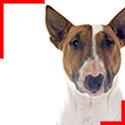 Bull Terrier Fauve