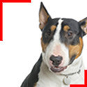 Bull Terrier Tricolore
