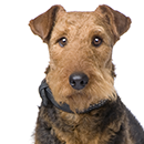 A24 Airedale.png