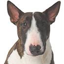 BE6 Bull Terrier Bringé T.jpg