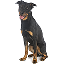 BH5 Beauceron A.png