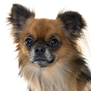 C15 Chihuahua @Cyno.png
