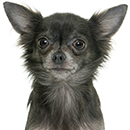 C37 Chihuahua gris PL.jpg