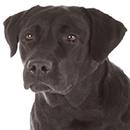 L25 Labrador ©artSILENSEcom.png