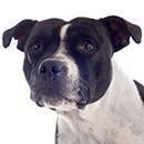 S17 Staffie ©Cyno.png