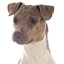 T31 Terrier Bresil T.png